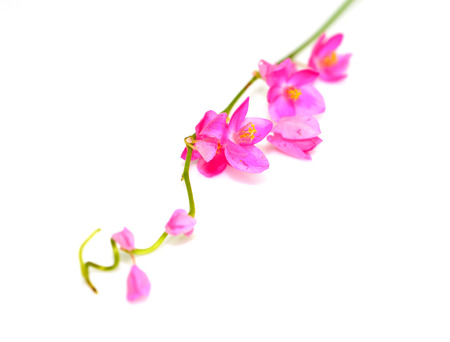Colorful pink flower, Coral Vine (Antigonon leptopus) isolated on a white background
