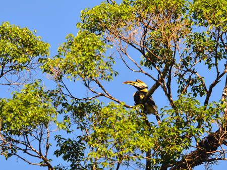 strikingly: Great Hornbill (Buceros bicornis) at Siphangnga Nationalpark,Thailand Stock Photo