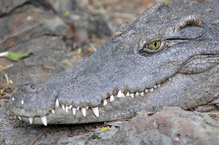 vicious: Crocodile closeup side and  Head  profile