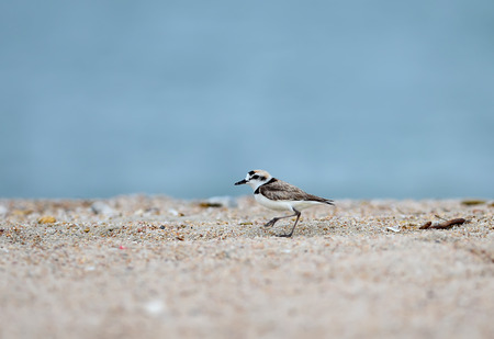 pan tropical: Malaysian Plover male (Charadrius peronii) on the beach Stock Photo