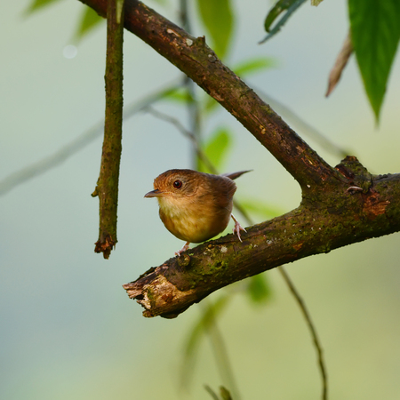 sic: Buff-breasted Babbler