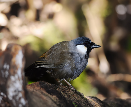 garrulax: beautiful black-throated laughingthrush (Garr ulax chinensis) in Thai forest