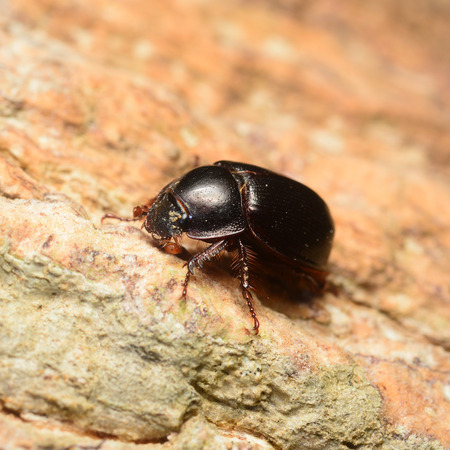 ground beetle: A large black beetle on the stone in nature