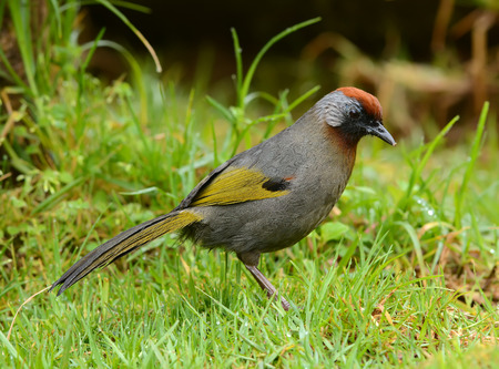 laughingthrush: Chestnut-crowned Laughingthrush,in nature, Bird of Thailand Stock Photo