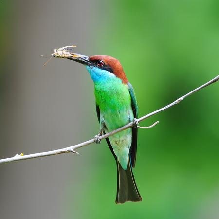 prin: Barbazul Abejaruco en la rama con la comida en la boca para alimentar a sus polluelos en el nido agujero