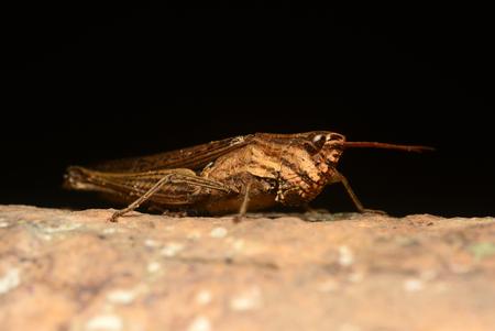 feelers: Brown Grasshopper Stock Photo