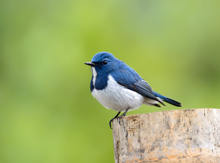 ultramarine blue: Beautiful Blue Bird, Ultramarine Flycatcher, perching on branch with clear green background (ficedula superciliaris)