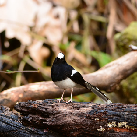 ornithologist: White-crowned Forktail ,nature in Thailand