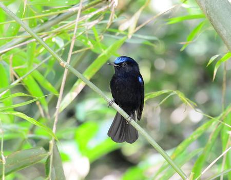 whitetailed: White-tailed Blue Robin (Cinclidium leucurum) in nature, in Thailand Stock Photo