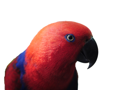 mccaw: The parrot closeup Psittacus torquata on isolated white background Stock Photo