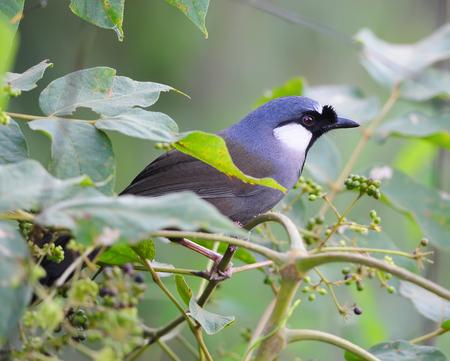 garrulax: Bird Beautiful black-throated laughingthrush (Garr ulax chinensis) in Thai forest Stock Photo