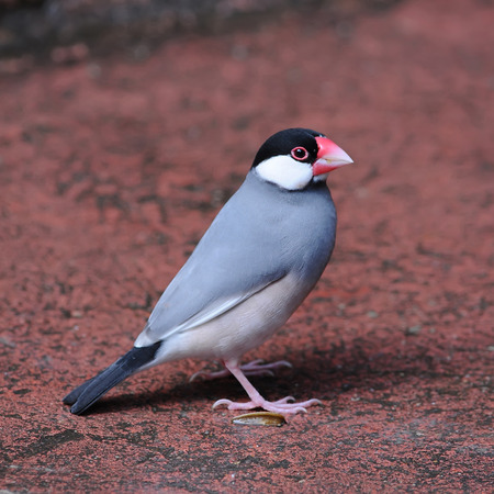r image: colorful Bird Java Sparrow Lonchura oryzivora