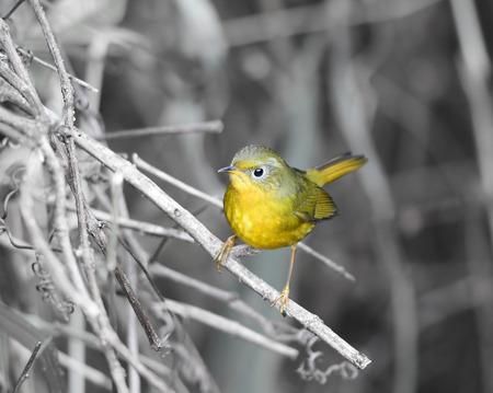 ultramarine blue: Beautiful Bird Golden (Golden bush robin), the cute little yellow bird standing on a branch Stock Photo