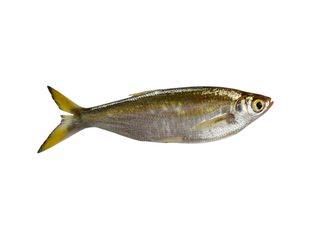 whitefish: fish Minnow isolated on white background
