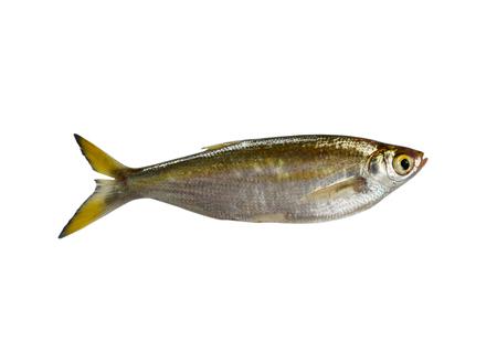 poissons Minnow isolé sur fond blanc