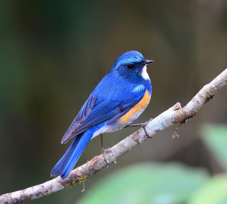 Blue bird, male Himalayan Bluetail (Tarsiger rufilatus) on a Green Moss