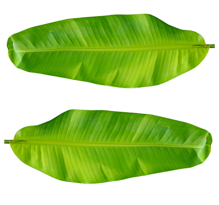 banana leaves: Fresh Green Banana Leaf Isolated with clipping path
