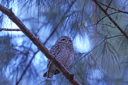 owlet: Beautiful Spotted Owlet (Athene brama) on a branch, in nature