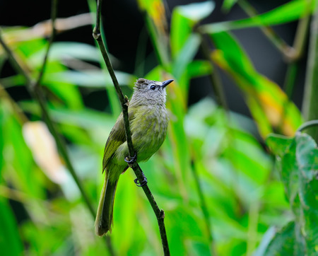 flavescens: Beautiful brown bird standing on moss (Flavescent Bulbul, Pycnonotus flavescens)