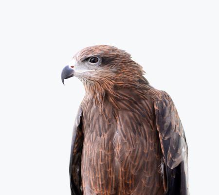 merlin falcon: head of Black Kite Bird isolated on white background Stock Photo