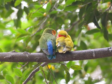 lovebirds: Beautiful Pair lovebirds