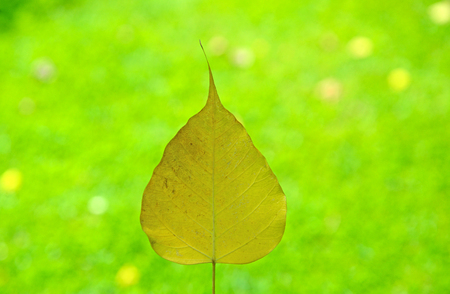 peepal tree: Soft-focus yellow leaves Sacred fig green background