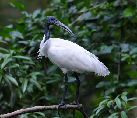 black headed: Black Headed Ibis resting on a branch Stock Photo