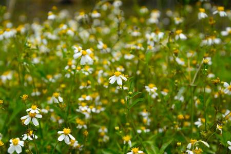 eriocaulaceae: Soft-focus Beautiful Blooming white star flowers in the nature scene. White daisy Stock Photo