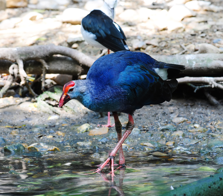 purple swamphen: Blue Bird Purple Swamphen (Porphyrio porphyrio) Stock Photo