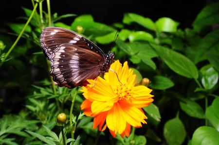 giant sunflower: Butterfly on flower