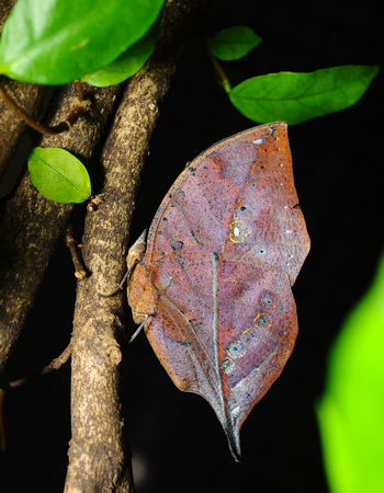 inachis: Master of disguise in the forest is a Special butterfly (Kallima inachis formosana) look like a Withered leaf,in nature, in Thailand Stock Photo