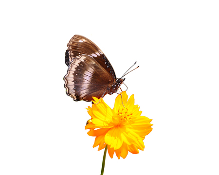 giant sunflower: Butterfly on isolated white background Stock Photo