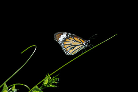 embryo growth: butterfly on Grass on a black background Stock Photo