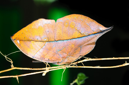 lycaenidae: Master of disguise in the forest is a Special butterfly (Kallima inachis formosana) look like a Withered leaf,in nature, in Thailand Stock Photo