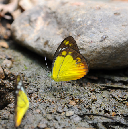 identical: Yellow butterfly on ground in nature