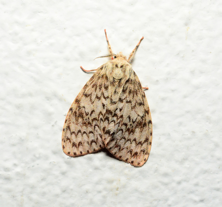 mimetism: moth butterfly