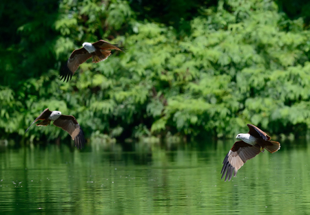 miror: Flying birds Brahminy Kite (Haliastur indus)