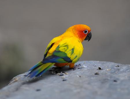 Colorful Sun Conure bird Stock Photo