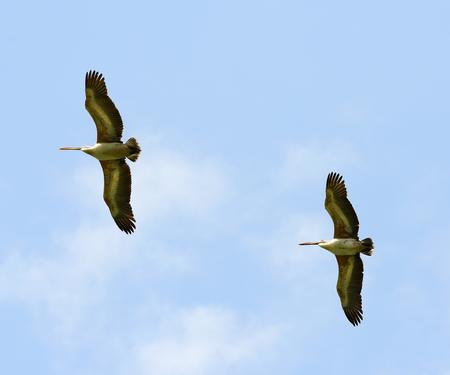 flying birds Spot-billed Pelican, Pelecanus philippensis Stock Photo