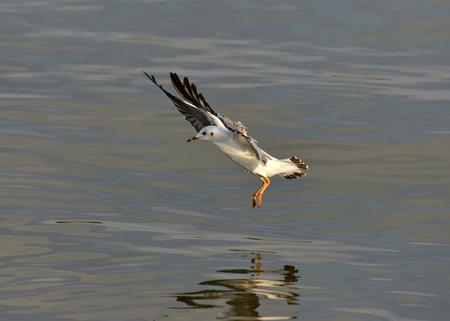 wingtips: Brown headed Gull (Larus brunnicecephalus) Bangpu Samuthprakharn,Thai land Stock Photo
