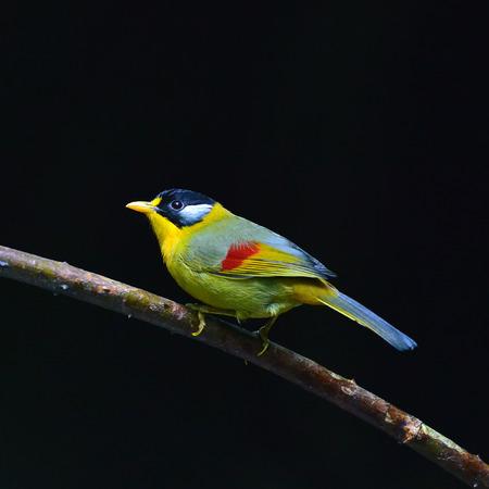 silver eared: Colorful Bird (Silver-eared Mesia)