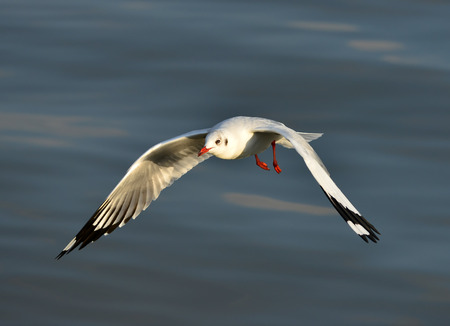 Brown headed Gull (Larus brunnicecephalus) Bangpu Samuthprakharn,Thai land Stock Photo