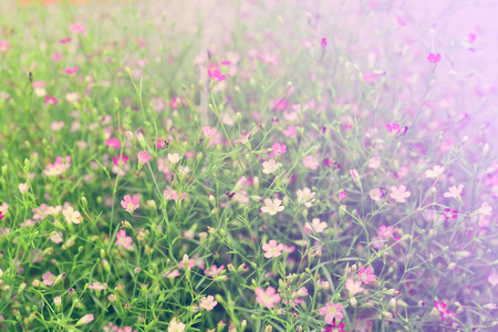 Beautiful Pink gypsophila flower vintage style . Closeup