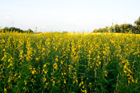 The farm of Crotalaria Juncea flower which use for soil improvem