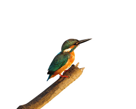 common reed: Bird Common Kingfisher on isolated white background