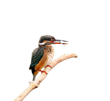 common blue: Bird Common Kingfisher (Alcedo atthis) on isolated white background