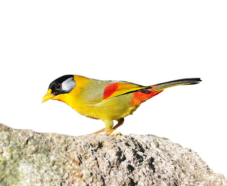 silver eared: Colorful Bird (Silver-eared Mesia) on isolated white background