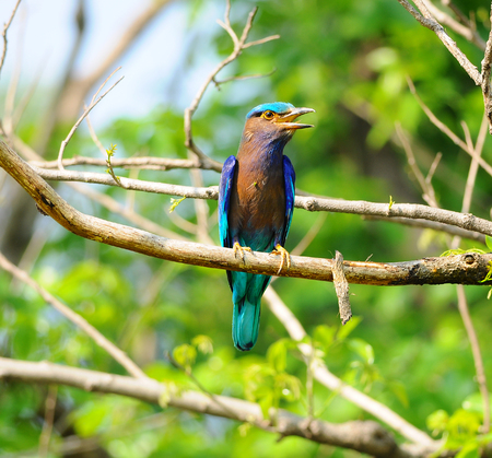 Colorful bird on a branch (Indian Roller) Stock Photo