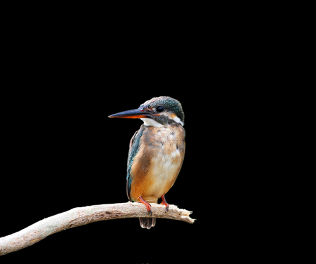 Common Kingfisher on Black background