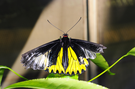 Yellow and black butterfly wings broken Stock Photo